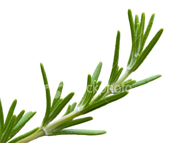 Isolation of Rosemary herb